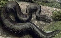 ular phiton